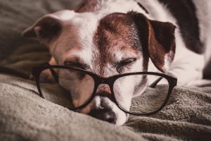 Photo of dog with glasses napping