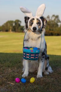 Photo of dog wearing bunny ears holding an easter basket
