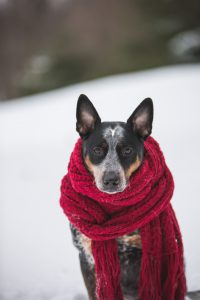Photo of dog wearing a scarf