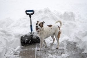 Photo of a dog and a show shovel